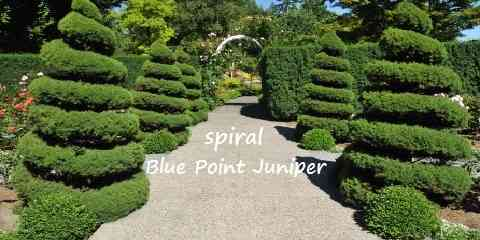 blue point juniper why you shouldn't add them