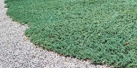 blue rug juniper plant