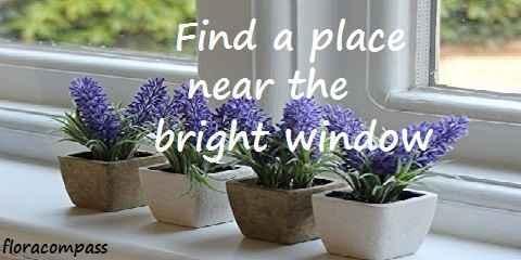 growing lavender inside