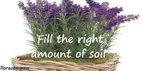 indoor lavender plant