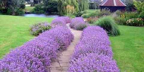 lavender blooming season