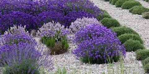 when does lavender bloom lavender blooming season