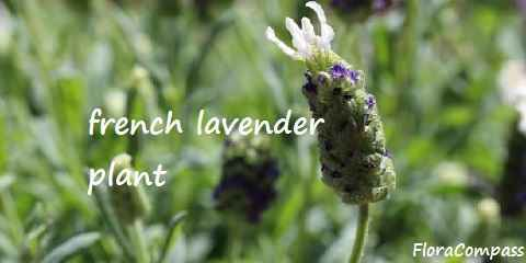 how to care growing french lavender plant uses maintenance prune