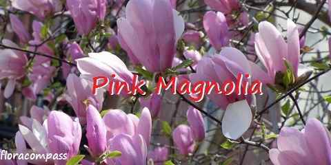 pink magnolia care size growth rate pruning