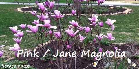 pink magnolia tree plant flower