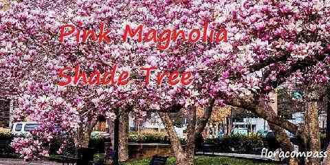 jane pink magnolia