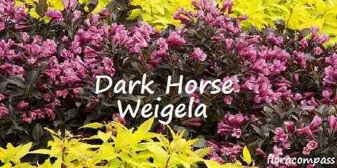 dark horse weigela