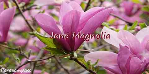 jane magnolia tree