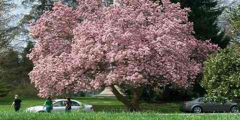 different types and kinds of magnolia trees