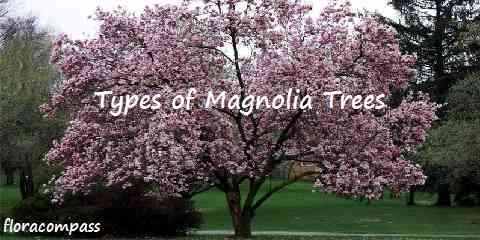 types of magnolia tree