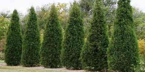 atlantic eastern western white cedar