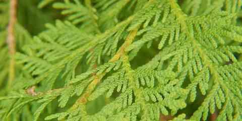 northern white cedar thuja occidentalis