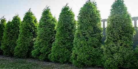 white cedar plant information facts picture lumber wood uses growth rate leaf varieties height